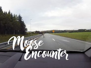 Moose Encounter!!