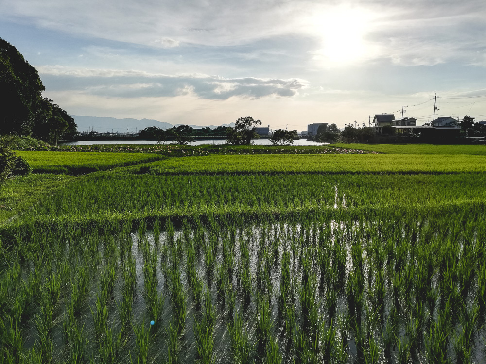 rice fields in the setting sun